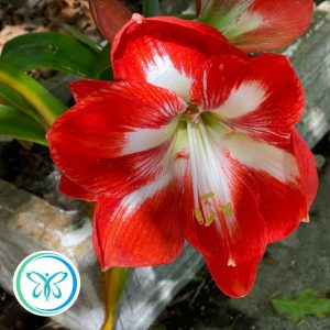 Creating in Uncertain Times - Image of an Amaryllis